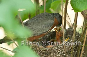 Robin bird feeding baby chick bird in nest