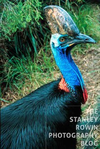 Cassowary Bird in Australia