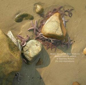 Massive die off of Starfish on Massachsetts beach