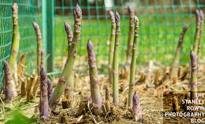 Asparagus Sprouting